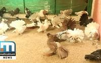Manzoor Earns Well From Fancy Pigeons Farming