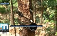 Rubber Farmers Unable To Make Profit, Rely On Slaughter Tapping Method |Investigation