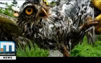 Youth Rescues Spotted Owl Entangled In Kite Strings